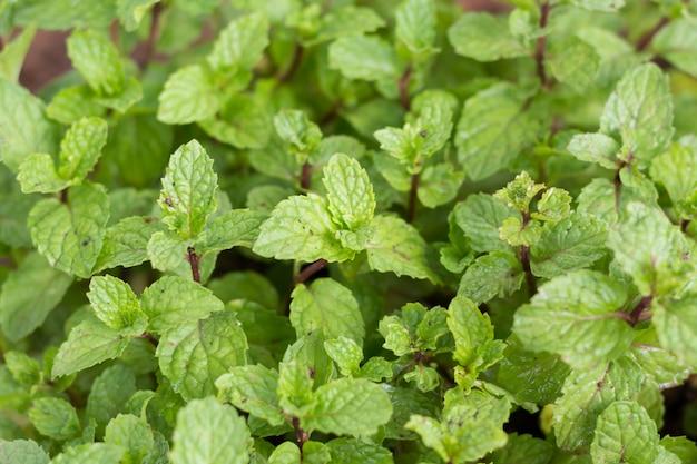 Pepper mint leaves.
