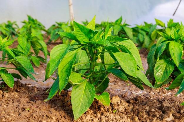 정원에 있는 후추 식물. 피망 모종. 성장하는 젊은 녹색 식물. 식물 관리.