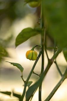 선택적으로 초점을 맞춘 과일이 있는 후추 식물