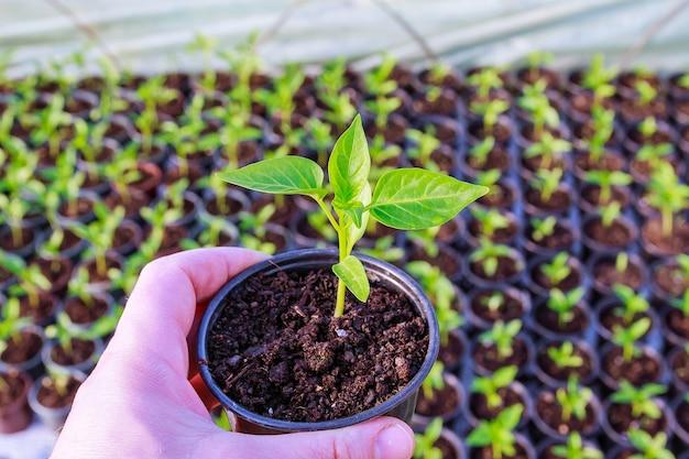플라스틱 냄비에 고추 묘목. 온실에서 이른 봄에 묘목을 키우고 있습니다.