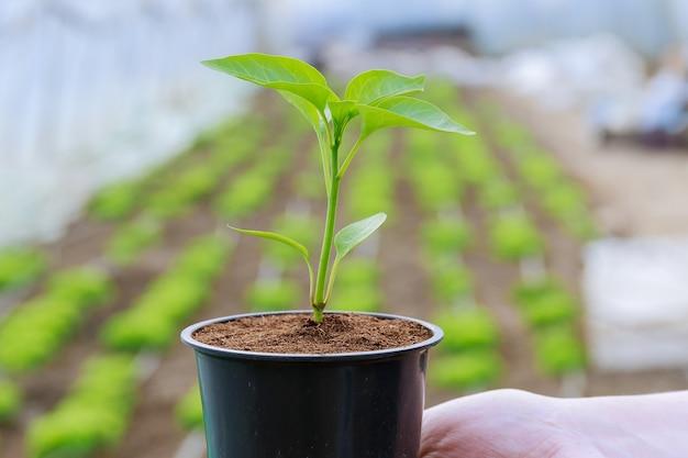 플라스틱 냄비에 고추 모종. 온실에서 이른 봄에 묘목을 재배합니다.