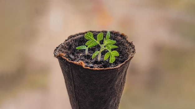 Pepper seedlings in peat pots on the window