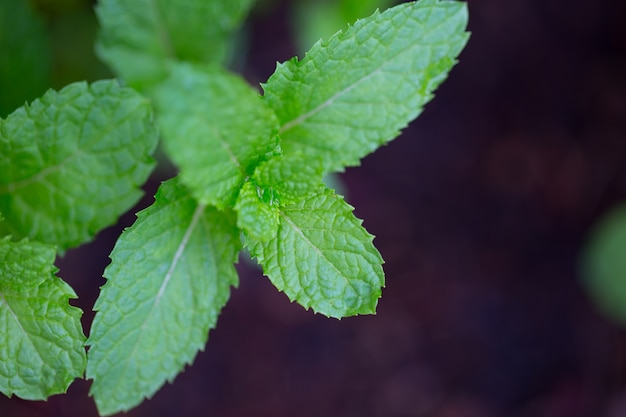 Peppermint leaf,home herbal garden with label, nontoxic clean plant
