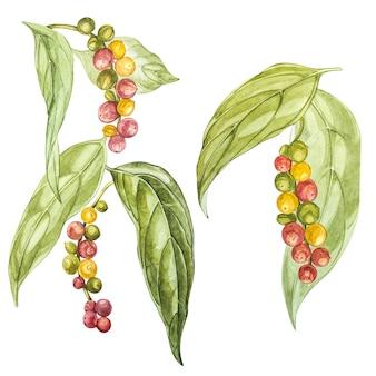 Перцы черные рисованной акварельные иллюстрации. ботанический рисунок, сделанный вручную акварельными карандашами.