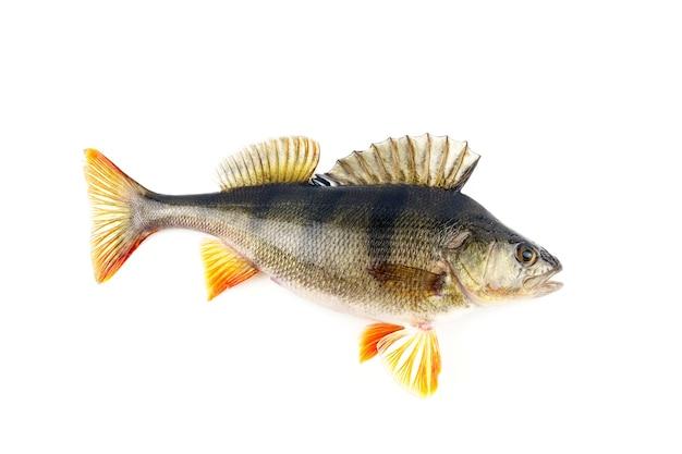 Рыба окуня изолированная на белой стене.