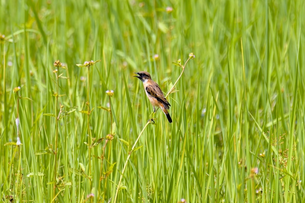 Perched asian whinchat in thailand rice fields