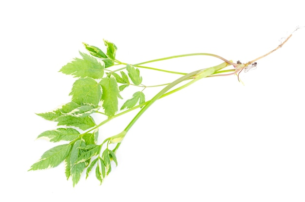 Perennial weed aegopodium with variegated leaves studio photo