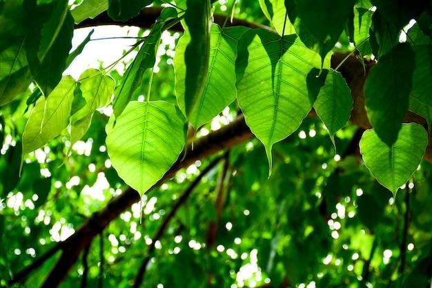 Perfect green bo leaf texture - closeup