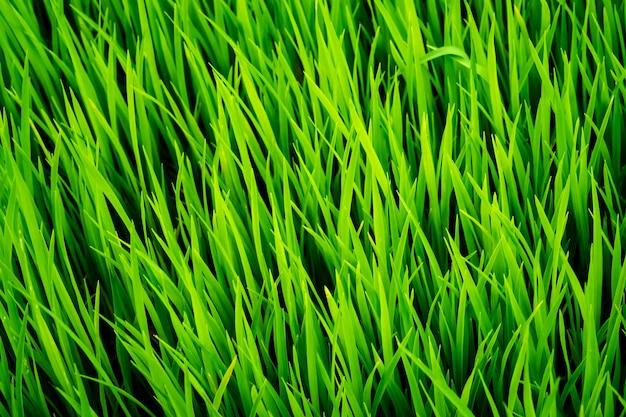 완벽한 녹색 신선한 잔디 쌀 텍스처