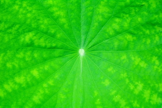 Perfect green lotus leaf texture