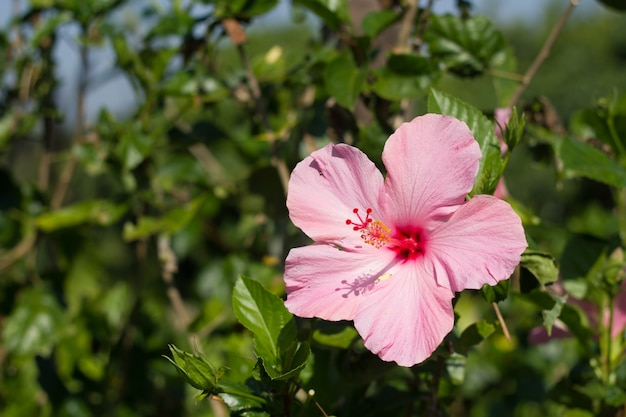 Perfect pink hibiscus blossom in natural environment.
