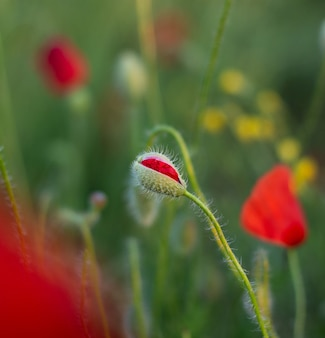 Perfect red poppy bud flower in the poppy field on the green floral