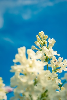 Perfect white lilac flowers. spring lilac flowers, abstract floral background