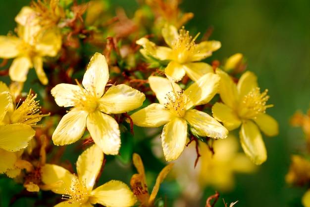 セントジョンズワートの花に穴を開ける(hypericum perforatum)
