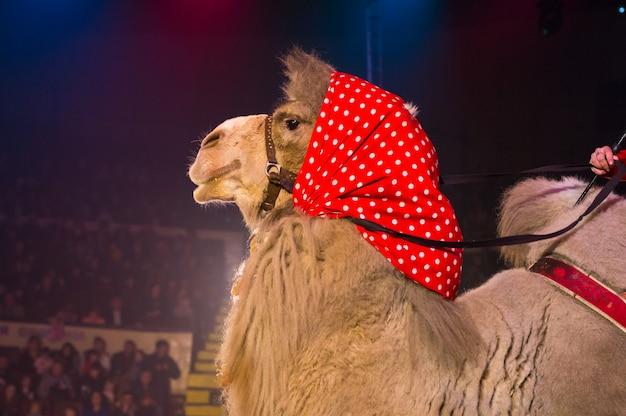 Выступление дрессированных верблюдов на цирковой арене.