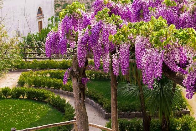 パーゴラは、イタリア、ソレント、アマルフィ海岸のラヴェッロにあるヴィラルフォロの庭で開花する藤で輝いていました。