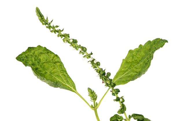 들깨 꽃과 녹색 잎 흰색 절연입니다.