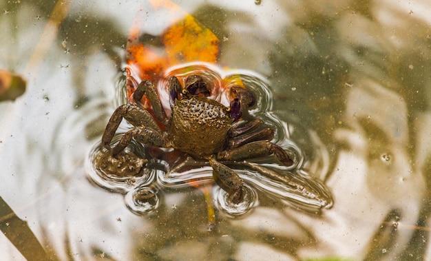 マングローブ林の干潟に住んでいる美しいperisesarma eumolpeのクローズアップ