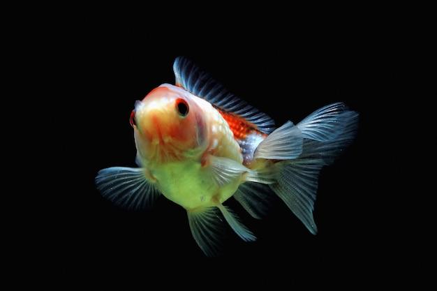 검은 배경으로 움직이는 펄 금붕어 검은 배경을 가진 우아한 fishbal