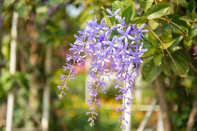 Красивые фиолетовые цветы. глубокие фиолетовые цветы русской шалфея perovskia atriplicifolia.