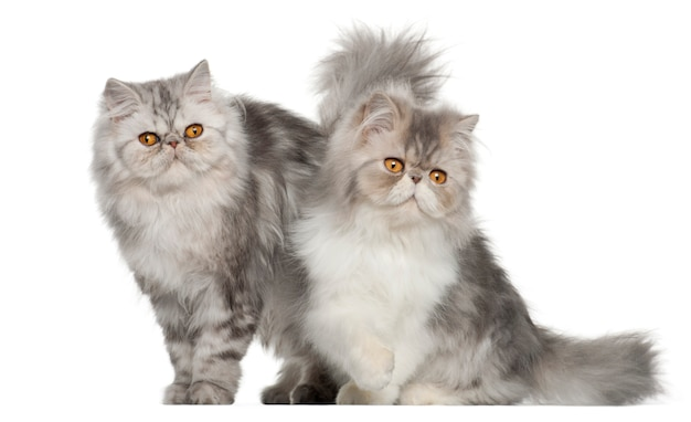 Persian (7 months old), persian (7 months old) Premium Photo