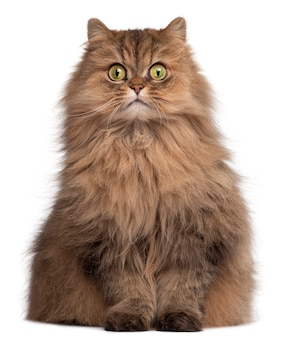 Persian cat, 6 years old,