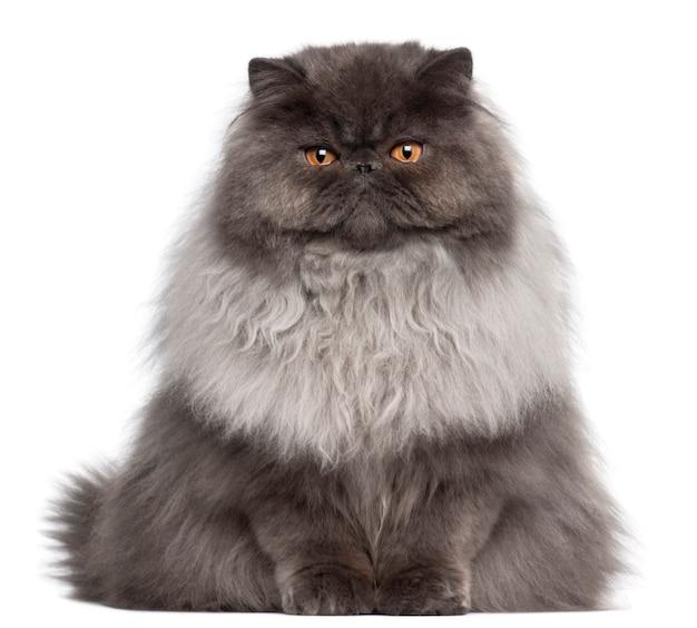 페르시아 고양이, 8 개월, 앉아