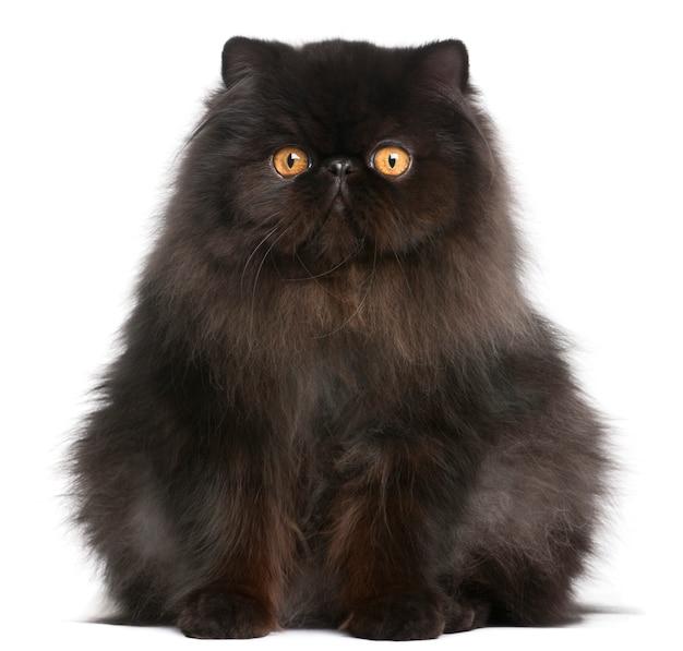 ペルシャ猫、9ヶ月、