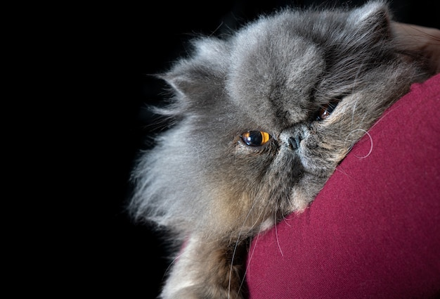 모피에 웅크리고 카메라를 바라보는 페르시아 고양이 - 선택적 초점