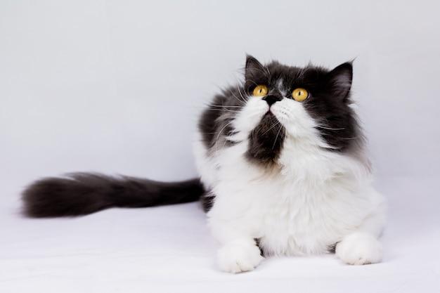 Персидская кошка сидит на белой стене сверху, изолированные
