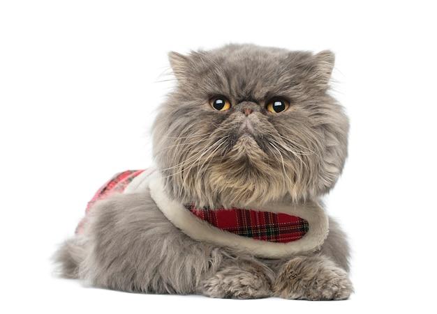 白で隔離される横になっているタータンハーネスを着ているペルシャ猫