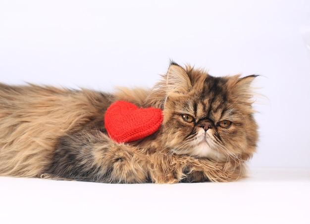 Персидский кот с вязанным сердечком лежит на светлом фоне. валентина день романтический фон.