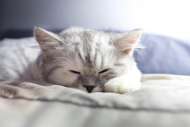 Персидский кот с белым изолированным фоном