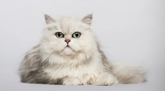 Tips Merawat Kucing Persia Agar Sehat Selalu