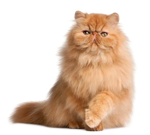 ペルシャの子猫(3ヶ月)、ペルシャ(6ヶ月)