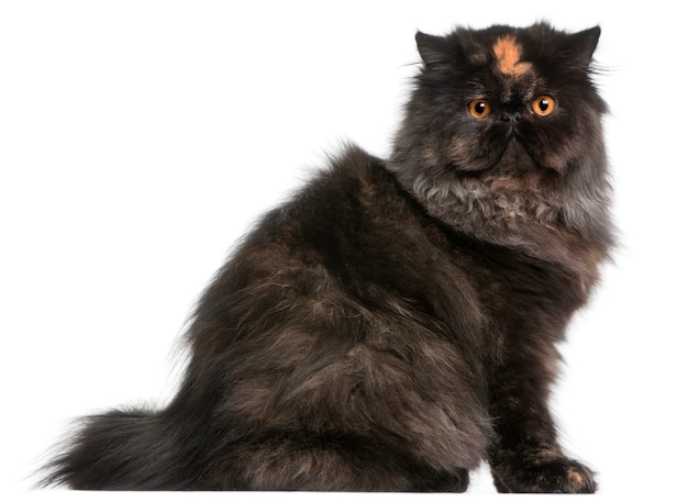 ペルシャの子猫、生後6ヶ月、
