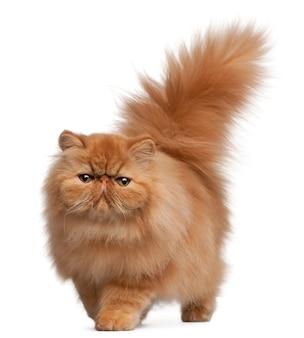 6 개월 된 페르시아 고양이,