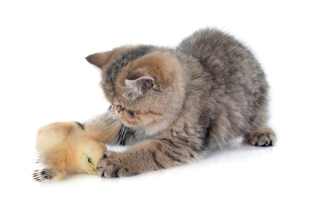 페르시아 고양이 새끼