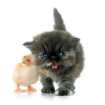 Persian kitten and chick