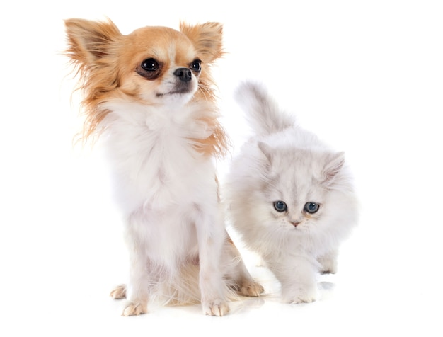 Persian kitten and chihuahua