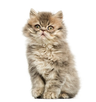 Persian kitten sitting looking up isolated on white