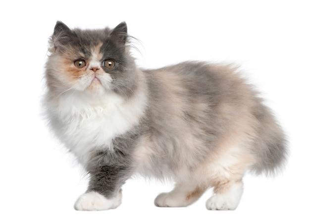 페르시아 고양이, 흰색 배경 앞에 서