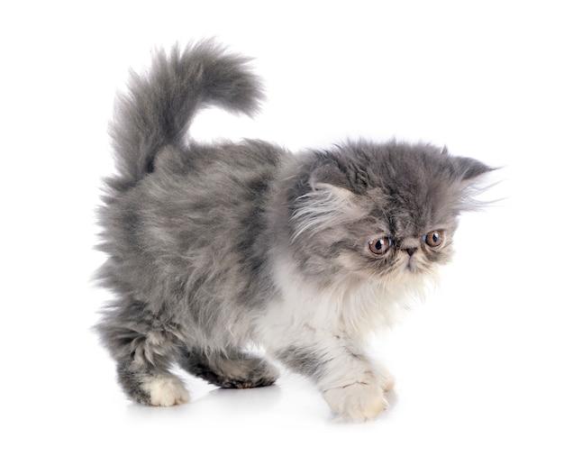 페르시아 고양이