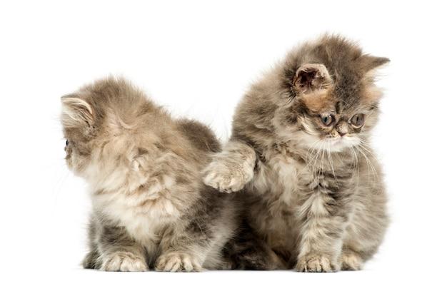 ペルシャの子猫が白で隔離される相互作用