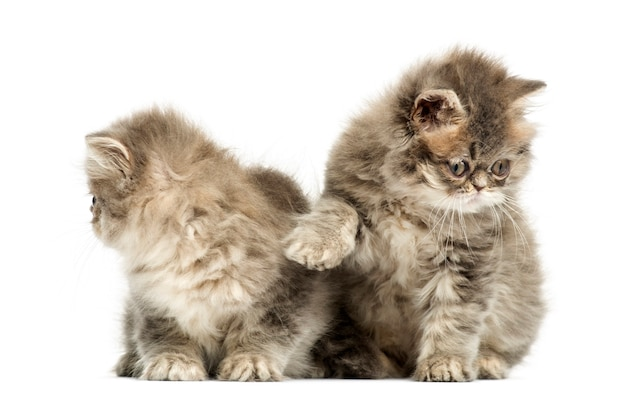 Persian kittens interacting isolated on white