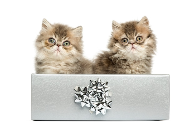Persian kittens sitting in a silver present box, 10 weeks old, isolated on white