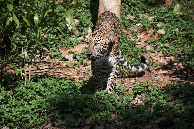 ペルシャのヒョウは真剣に獲物を探しています