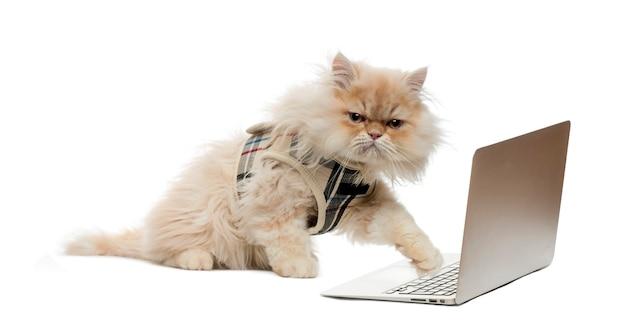 Persian pawing at a laptop Premium Photo