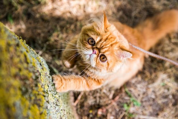 Персидский рыжий кот точит когти о дерево