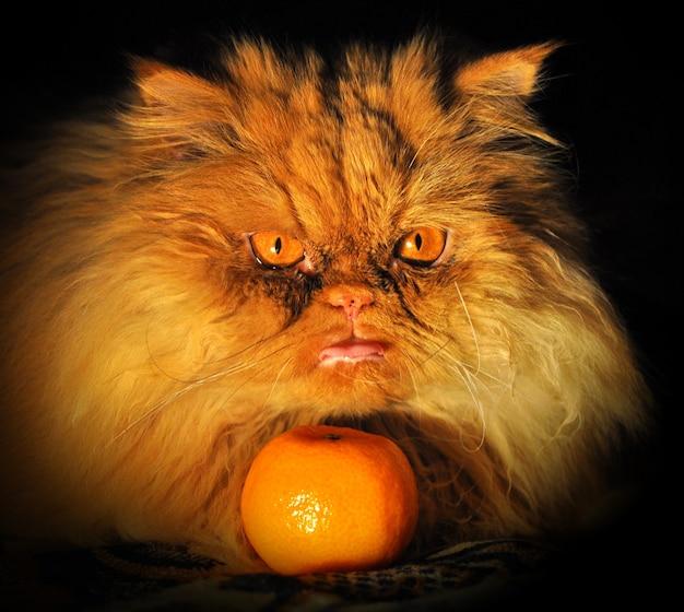 Персидский рыжий кот с мандарином на темном фоне